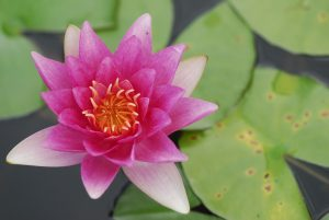 lotus chakras